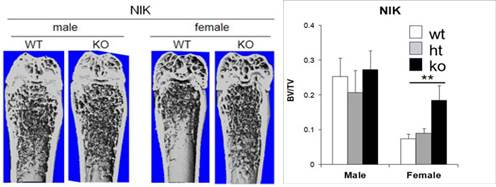 Loss of NIK increases trabecular bone mass in female, but not male mice. MicroCT analysis of distal femurs from 10 week old WT, heterozygous, and NIK KO mice was performed, and trabecular bone volume (BV/TV) was calculated proximal to the growth plate. **, p<0.01.