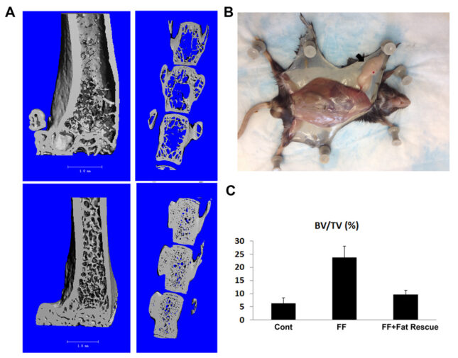 A) µCT images of femur and vertebra BV/TV of 3 months old Cont and fat free (FF) mice; B) Fat pat differentiated from transplanted MEF cells in FF mouse. C) µCT analysis of femoral BV/TV of Cont, FF, and FF with MEF transplant rescue mice.